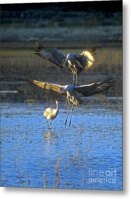 Landing Sandhill Cranes Metal Print by Steven Ralser
