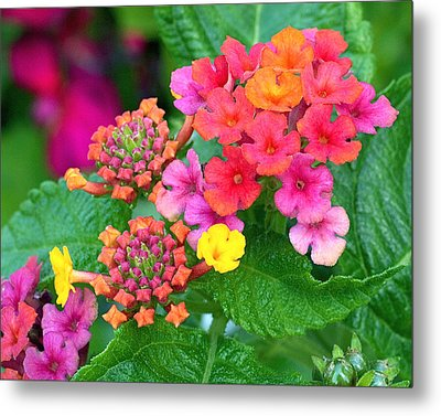 Lantana Metal Print by Rona Black