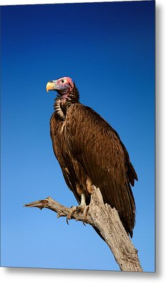 Lappetfaced Vulture Against Blue Sky Metal Print by Johan Swanepoel