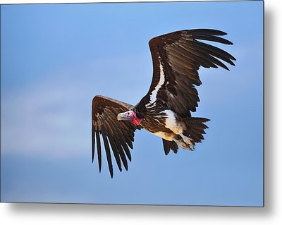 Lappetfaced Vulture Metal Print by Johan Swanepoel