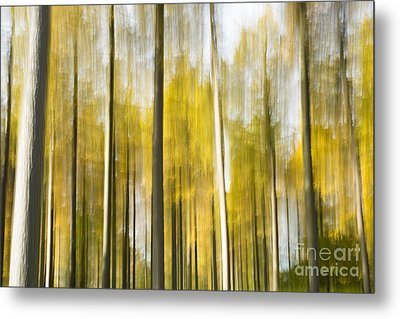 Larch Grove Blurred Metal Print by Anne Gilbert