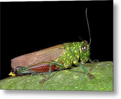 Large Rainforest Grasshopper Metal Print by Dr Morley Read