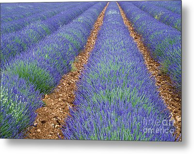 Lavendel 2 Metal Print by Arterra Picture Library