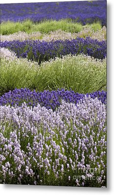 Lavender Bands Metal Print by Anne Gilbert