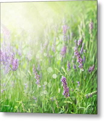 Lavender Field Background Metal Print by Mythja  Photography