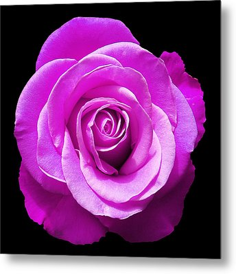Lavender Rose Metal Print by Aimee L Maher Photography and Art Visit ALMGallerydotcom