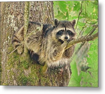 Lazy Day Raccoon Metal Print by Jennie Marie Schell