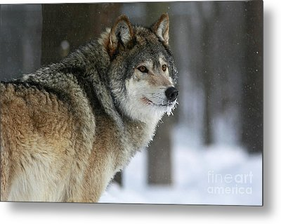 Leader Of The Pack Metal Print by Inspired Nature Photography Fine Art Photography