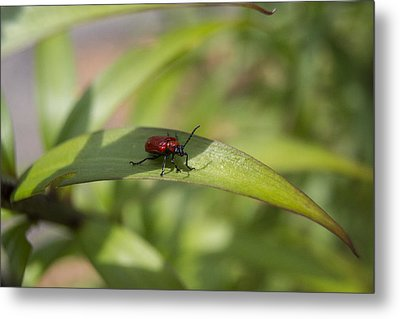 Leaf Beetle Pict 1 Metal Print by Michel DesRoches