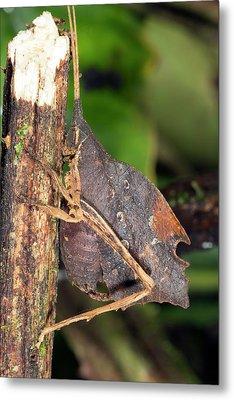 Leaf Mimic Katydid Metal Print by Dr Morley Read