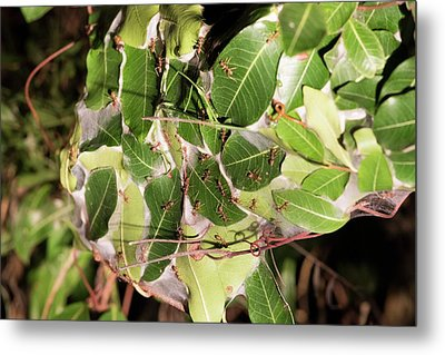 Leaf-stitching Ants Making A Nest Metal Print by Tony Camacho
