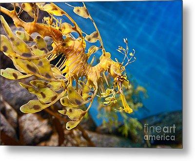 Leafy Sea Dragon Phycodurus Eques. Metal Print by Jamie Pham