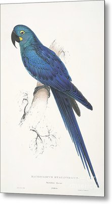 Lear's Macaw Metal Print by Pg Reproductions