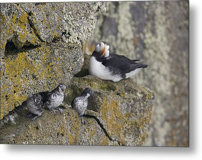 Least Auklets Perched On A Narrow Ledge Metal Print by Milo Burcham