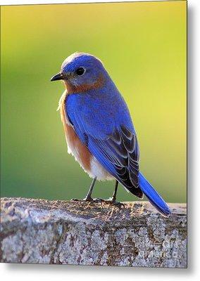 Lenore's Bluebird Metal Print by Robert Frederick
