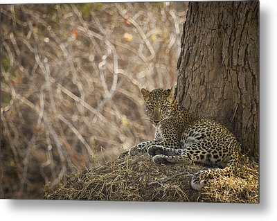 Leopard In Its Environment Metal Print by Alison Buttigieg