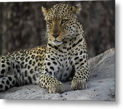 Leopard Panthera Pardus On Termite Metal Print by Panoramic Images