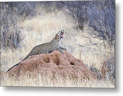Leopard Panthera Pardus Yawning Metal Print by Panoramic Images