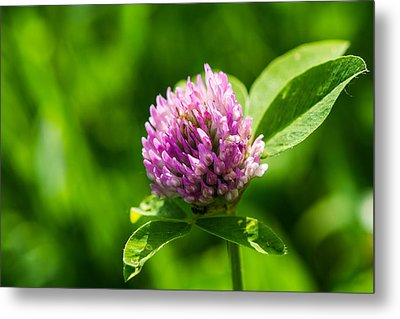 Let Us Live In Clover - Featured 3 Metal Print by Alexander Senin