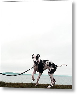 Like A Puppy On A String Metal Print by Richard Lawrence