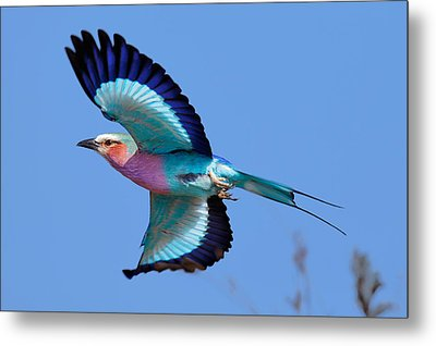 Lilac-breasted Roller In Flight Metal Print by Johan Swanepoel