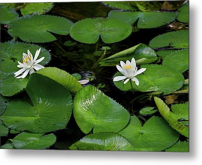 Lily Pads And Blossoms Metal Print by Rich Franco