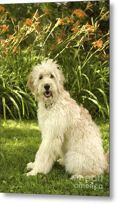 Lily The Goldendoodle With Daylilies Metal Print by Anna Lisa Yoder