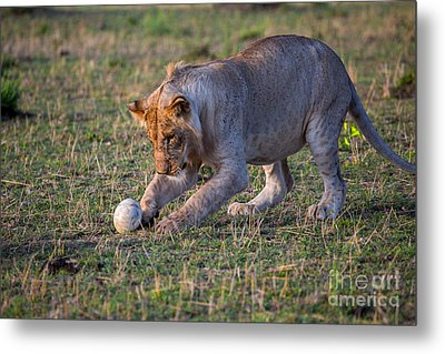 Lion Cub Playing With Ostrich Egg Metal Print by Greg Dimijian