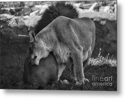 Lion Hugs In Black And White Metal Print by Thomas Woolworth