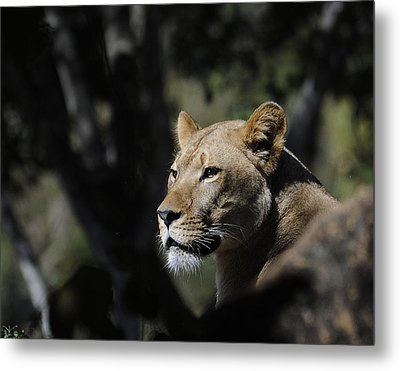 Lion Watching Metal Print by Keith Lovejoy