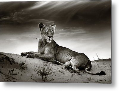 Lioness On Desert Dune Metal Print by Johan Swanepoel