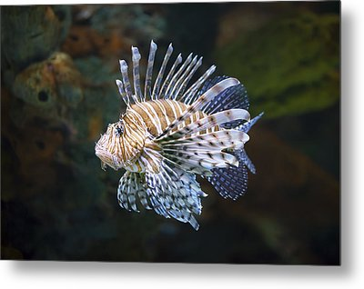 Lionfish - Gatlinburg Tn Ripleys Aquarium Metal Print by Dave Allen