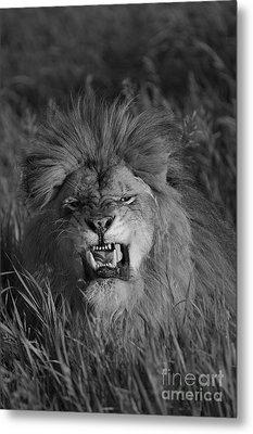 Lions Courage Metal Print by Wildlife Fine Art