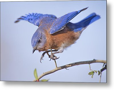 Little Blue Flying Machine Metal Print by Bonnie Barry
