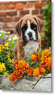 little Boxer Puppy in flowers Metal Print by Doreen Zorn