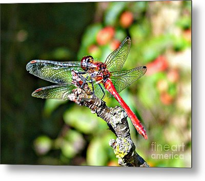 Little Dragonfly Metal Print by Morag Bates