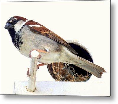 Little Sparrow Metal Print by Karen Wiles