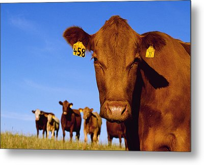 Livestock - Closeup Of A Red Angus Cow Metal Print by Sam Wirzba