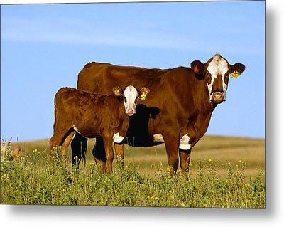 Livestock - Crossbred Cow And Calf Metal Print by Sam Wirzba