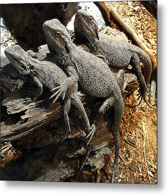 Lizards Metal Print by Les Cunliffe