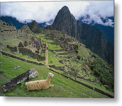 Llama At Machu Picchus Ancient Ruins Metal Print by Chris Caldicott