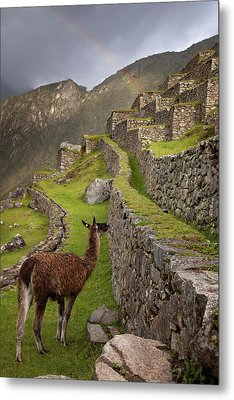Llama Stands On Agricultural Terraces Metal Print by Jaynes Gallery