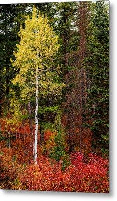Lone Aspen In Fall Metal Print by Chad Dutson