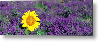 Lone Sunflower In Lavender Field France Metal Print by Panoramic Images