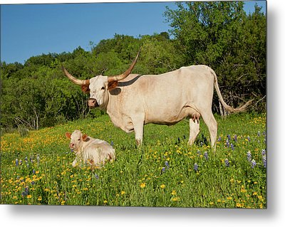 Longhorn Cattle On Central Texas Ranch Metal Print by Larry Ditto