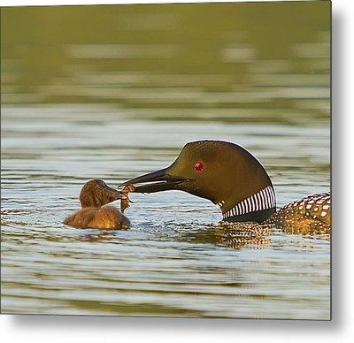 Loon Feeding Chick Metal Print by John Vose
