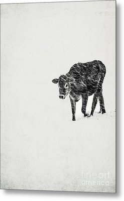 Lost Calf Struggling In A Snow Storm Metal Print by Edward Fielding