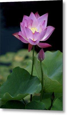 Lotus Blossom Metal Print by Penny Lisowski