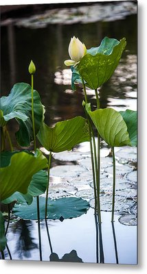 Lotuses In The Pond Metal Print by Jenny Rainbow