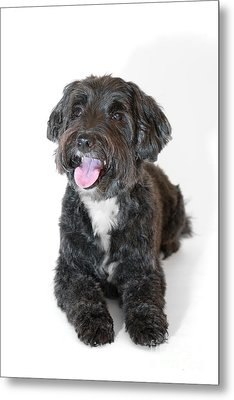 Lovely Long Haired Dog Metal Print by Natalie Kinnear
